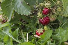 Fragole mature nel giardino Immagini Stock