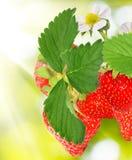 Fragole nel giardino Immagine Stock