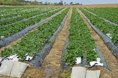 Fragole piantate Fotografie Stock