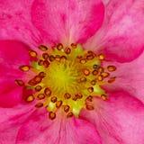 Fragole rosa del fiore Germoglio di una pianta sbocciante Immagine Stock
