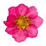 Fragole rosa del fiore isolate Germoglio di una pianta sbocciante Immagine Stock Libera da Diritti