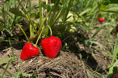 Fragole rosse e mature nel giardino Fotografia Stock Libera da Diritti
