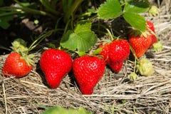 Fragole rosse e mature nel giardino Immagine Stock