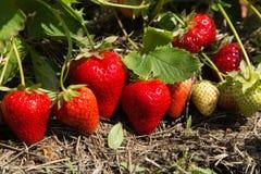 Fragole rosse e mature nel giardino Immagini Stock