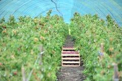 Fragole selezionate fresche nel canestro dentro la serra Immagini Stock Libere da Diritti