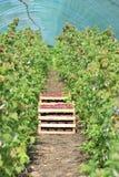 Fragole selezionate fresche nel canestro dentro la serra Fotografie Stock