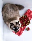 Fragole Su una priorità bassa bianca punto siberiano siamese di colore del gatto lanuginoso Fotografia Stock