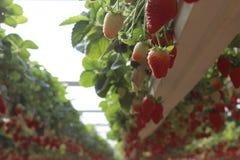 Fragole in una serra, selezionante il fondo rosso e verde delle fragole, immagini stock