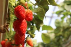 Fragole in una serra, selezionante il fondo rosso e verde delle fragole, fotografie stock libere da diritti