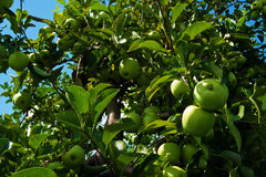 The Fragrance of the Apple Harvest. Branches of green apples near harvest season in southern Michigan Stock Photo