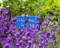 Fragrance garden. Lavender is one of the flowers in the fragrance garden Stock Photo
