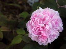 The fragrance of a pink rose in the summer garden. Growing roses in the open ground. Varietal roses. Stock Images