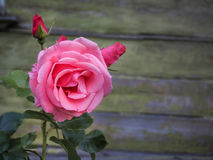 The fragrance of a pink rose in the summer garden. Growing roses in the open ground. Varietal roses. Royalty Free Stock Photo