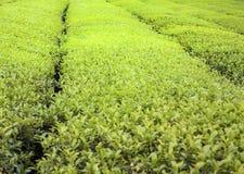 Herb, green tea, background, landscape. Fragrance of spring Tea field Stock Photos