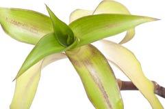 Fragrans de Callisia Images stock