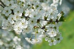 Fragrant apple tree flowers. Closeup Stock Photos