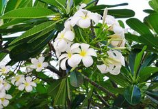 Fragrant blossoms of white and yellow frangipani flowers. Also called plumeria and melia Royalty Free Stock Images