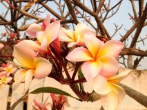 Fragrant blossoms of white and yellow frangipani flowers. Fragrant blossoms of white and yellow frangipani flowers Royalty Free Stock Photography