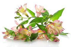 Fragrant bouquet of an alstroemeria Royalty Free Stock Images