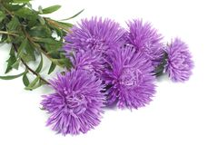 Fragrant bouquet of autumn flowers asters isolated Stock Photo