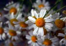 Fragrant chamomile. Unobtrusive beauty of fragrant chamomile Royalty Free Stock Photos