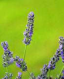 fragrant colorful blossomed flower of lavender Stock Photos