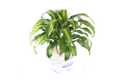 Fragrant dracaena Stock Images