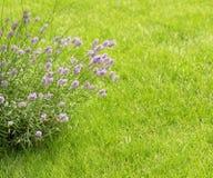 Fragrant flowers of lavender fresh Royalty Free Stock Image