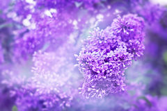 Fragrant flowers of lilac Stock Images