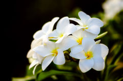 Fragrant frangipani or plumerie tropical flowers Stock Images