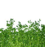 Fragrant green parsley isolated on white background Royalty Free Stock Images