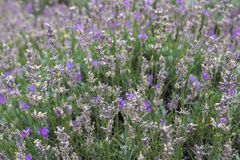 Fragrant lavender flowers. Blooming lavender fields in Bulgaria. Purple lavender flowers. Lavender bushes. Blooming lavender. Bee on a flower. Lavender honey and royalty free stock photo