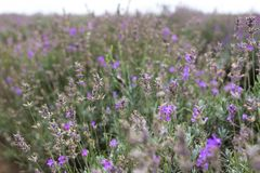 Fragrant lavender flowers. Blooming lavender fields in Bulgaria. Purple lavender flowers. Lavender bushes. Blooming lavender. Bee on a flower. Lavender honey and stock images