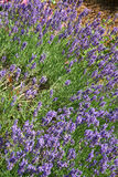 Fragrant lavender in summer Stock Photography