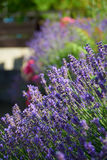 Fragrant lavender in summer Stock Image