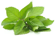 Fragrant leaflets, green mint. Stock Image