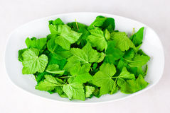 Fragrant leaves of currant Royalty Free Stock Photography