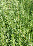 Fragrant leaves of Rosemary for flavor a roast Royalty Free Stock Photo