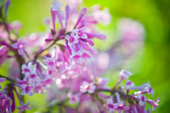 Fragrant lilac blossoms Royalty Free Stock Image