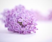 Fragrant lilac blossoms royalty free stock photo