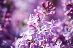 Fragrant lilac blossoms (Syringa vulgaris). Shallow depth of field, selective focus Stock Photo
