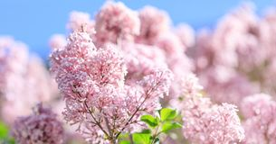 Fragrant lilac blossoms Syringa vulgaris. Shallow depth of fie royalty free stock photography