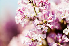 Fragrant lilac blossoms (Syringa vulgaris). Royalty Free Stock Images
