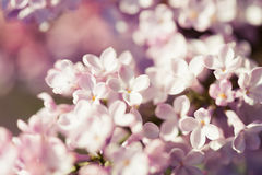 Fragrant lilac blossoms (Syringa vulgaris). Royalty Free Stock Photography