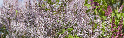 Fragrant lilac bush Royalty Free Stock Photo