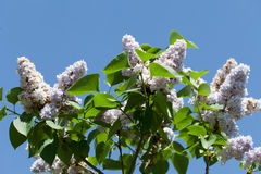 Fragrant lilac bush Royalty Free Stock Image