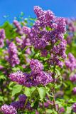 Fragrant lilac bush in the spring garden Royalty Free Stock Images