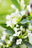 Fragrant lilac with white flowers Royalty Free Stock Image