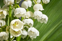 Fragrant lilies of the valley on a background of green leaves. Macro. Royalty Free Stock Photos