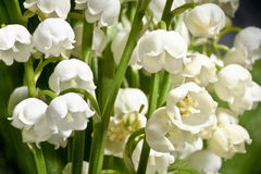 Fragrant lilies of the valley on a background of green leaves. Macro. Stock Photos